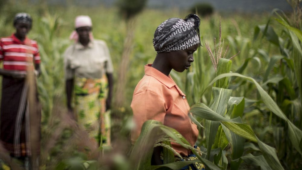 02 June, 2015, Gakindo, Rwanda - Farmer Field Schools beneficiaries are seen at work in a maize field. Farmer Field School programs are run in the farming region of Bugesera in south Rwanda: the flood prone soil is treated with a technical called